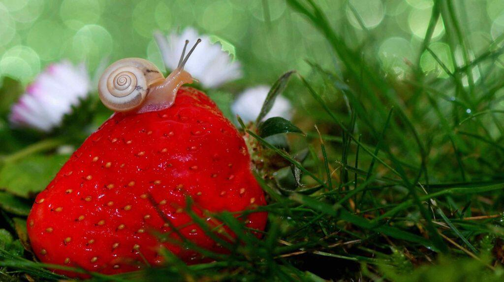 Petit escargot sur une grosse fraise posée dans l'herbe.
